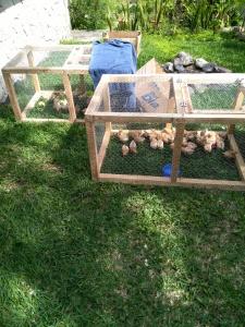 Chicks - San Marcos Hen Farm